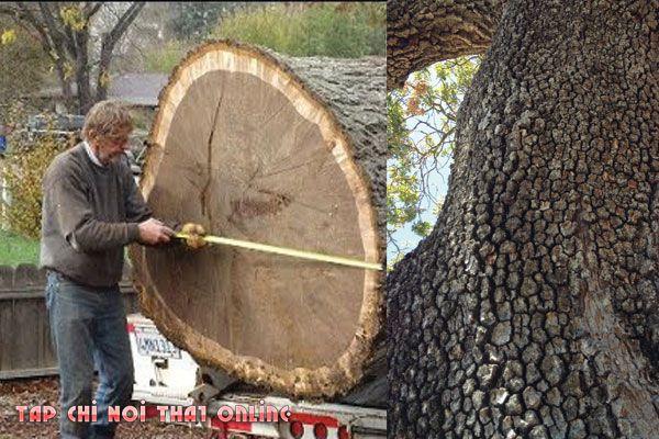 Khúc gỗ óc chó chất lượng càng tốt, kích thước càng to giá càng cao.