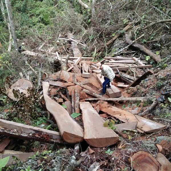 Tình trạng khai thác gỗ nghiến trái phép hiện nay.